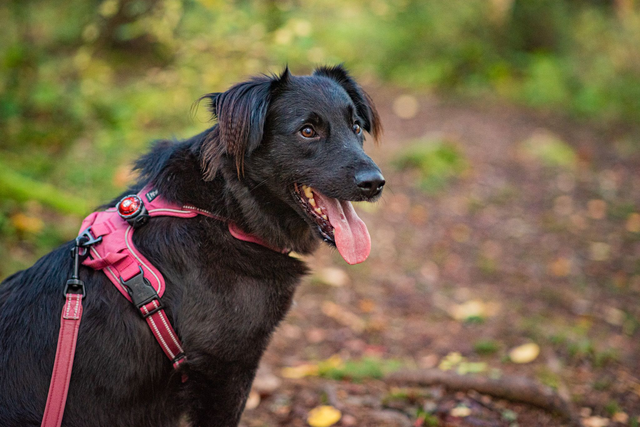 musta koira hihnassa
